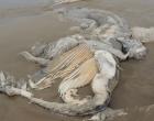 Carcaça de baleia é encontrada em Imbé