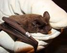 Vigilância Ambiental orienta sobre presença de morcegos em áreas urbanas