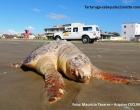 Tartarugas marinhas lideram lista de animais encontrados mortos na orla do litoral norte