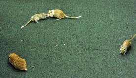 Ratos foram soltos no plenário antes do depoimento de  Vaccari     Luis  Macedo/Câmara  dos  Deputados