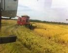 Estado tem 78,3% da área de arroz colhida