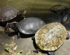 Comércio de espécies exóticas de tartarugas está proibido
