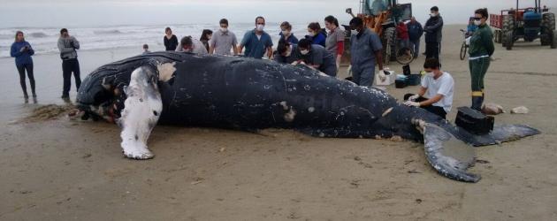 Mais uma Baleia Jubarte é encontrada morta no Litoral. Segunda em dois dias