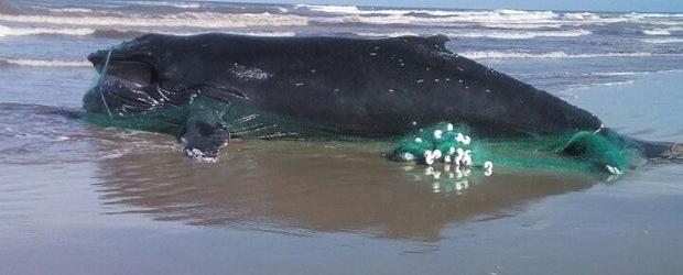 Baleia é encontrada morta e envolta em rede de pesca no Litoral Norte