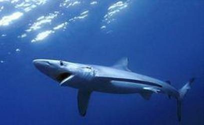 O tubarão-azul é uma das especias com risco de extinção