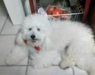 Cão se perde após acidente de trânsito em Osório