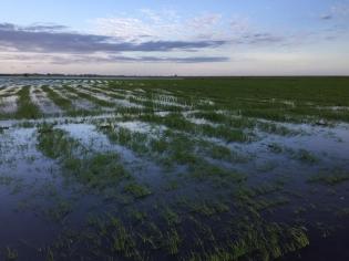Em determinadas regiões, áreas plantadas foram fortemente atingidas pelas enchentes - Foto: Divulgação/Federarroz