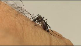 Aedes aegypti, mosquito transmissor do vírus Zika Divulgação/Fiocruz