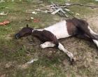 Eutanásia: cavalo é sacrificado, após maus tratos em Osório