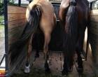Departamento de Proteção Animal apreende cavalos em Osório