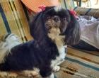 Família busca por cão que desapareceu após capotamento na Freeway em Osório