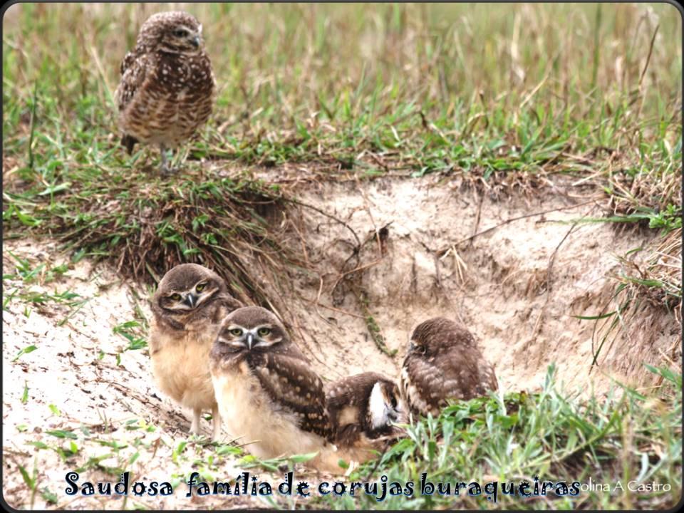 Saudosa família de corujas buraqueiras