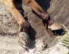 Batalhão ambiental flagra maus tratos a animal em Capão da Canoa