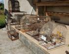 Operação apreende 11 pássaros silvestres e multa infratores em Maquiné