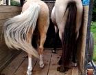 Cavalos em situação de perigo são recolhidos em Osório