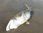 Tubarão é encontrado morto na beira mar de Tramandaí