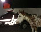 Animal furtado em Terra de Areia é localizado em Imbé