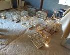 Operação suspende atividades de criatório irregular de pássaros no Litoral Norte