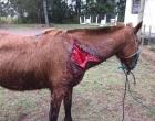 Departamento de Proteção Animal recolhe cavalo ferido em Osório