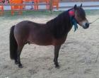 É de Osório o Pônei Campeão Cavalo Master da Expointer 2018