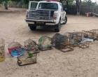 Patram apreende animais silvestres em Osório e Terra de Areia