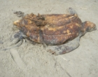 Dezenas de tartarugas-marinhas são encontradas mortas no litoral