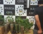 Polícia localiza plantação de maconha em Osório
