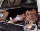 Mais de 200 kg de carne são apreendidos na ERS-030