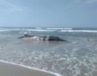 Segunda baleia é encontrada morta em cinco dias na beira-mar