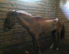 Cavalo vítima de maus tratos é recolhido em Osório