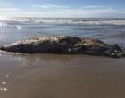 Baleia é encontrada morta na beira-mar