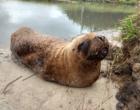 Patrulha Ambiental resgata leão marinho ferido no Litoral