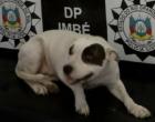 Polícia recupera pitbull furtada de dentro de pátio em Imbé