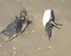 Diversos pinguins e um lobo marinho são encontrados mortos no Litoral Norte