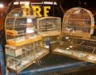 Dupla é presa transportando pássaros silvestres em Osório