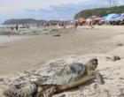 Tartaruga ameaçada de extinção é encontrada morta na beira mar de Torres