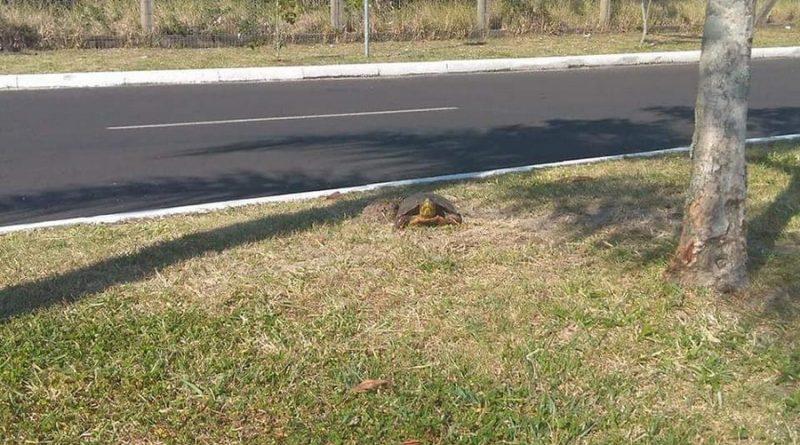 Tartarugas estão morrendo atropeladas por veículos em Osório