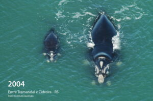 Baleia conhecida há 27 anos volta a visitar o litoral gaúcho