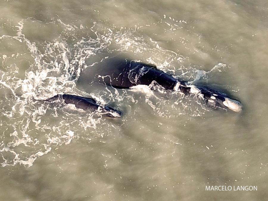 Filhotes de baleia-franca são avistados no Litoral Gaúcho