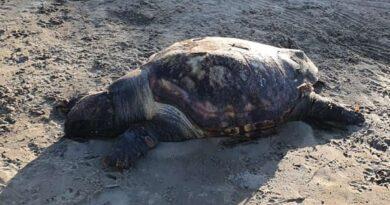 Tartaruga morre próxima a rede de pesca em Imbé