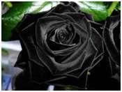 A incrível e fantástica história da rosa amarela, da rosa negra e de uma cidade com eflúvios de cravos-de-defunto* - Sérgio Agra